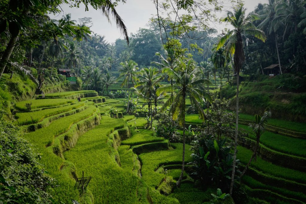 Morning view on the lovely Tegelalang rice terraces north of Ubud, Tegelalang